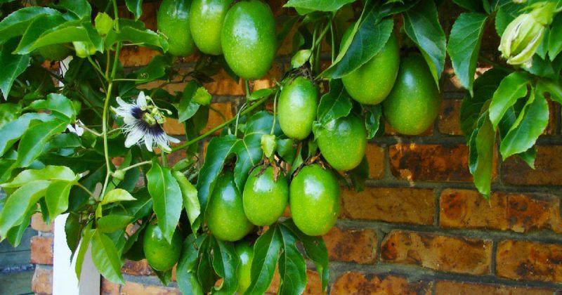 8 Penyakit Yang Kerap Menyerang Pokok Markisa dan Menjejaskan penghasilan Buah