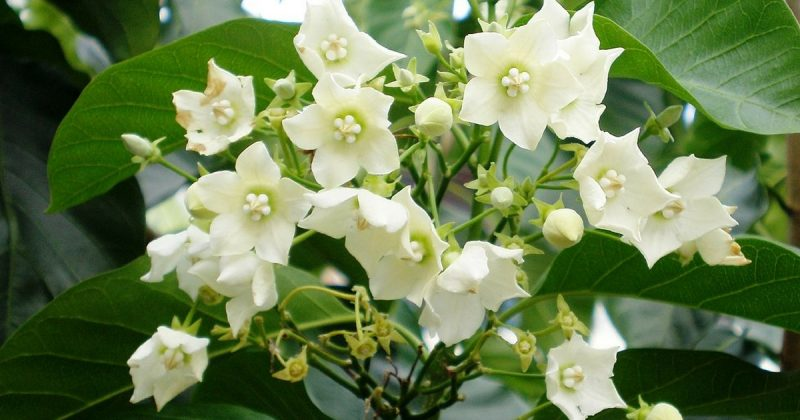 15 Pokok Memanjat Ini Mampu Buatkan Kediaman Anda Tampil Lebih Cantik Dan Indah